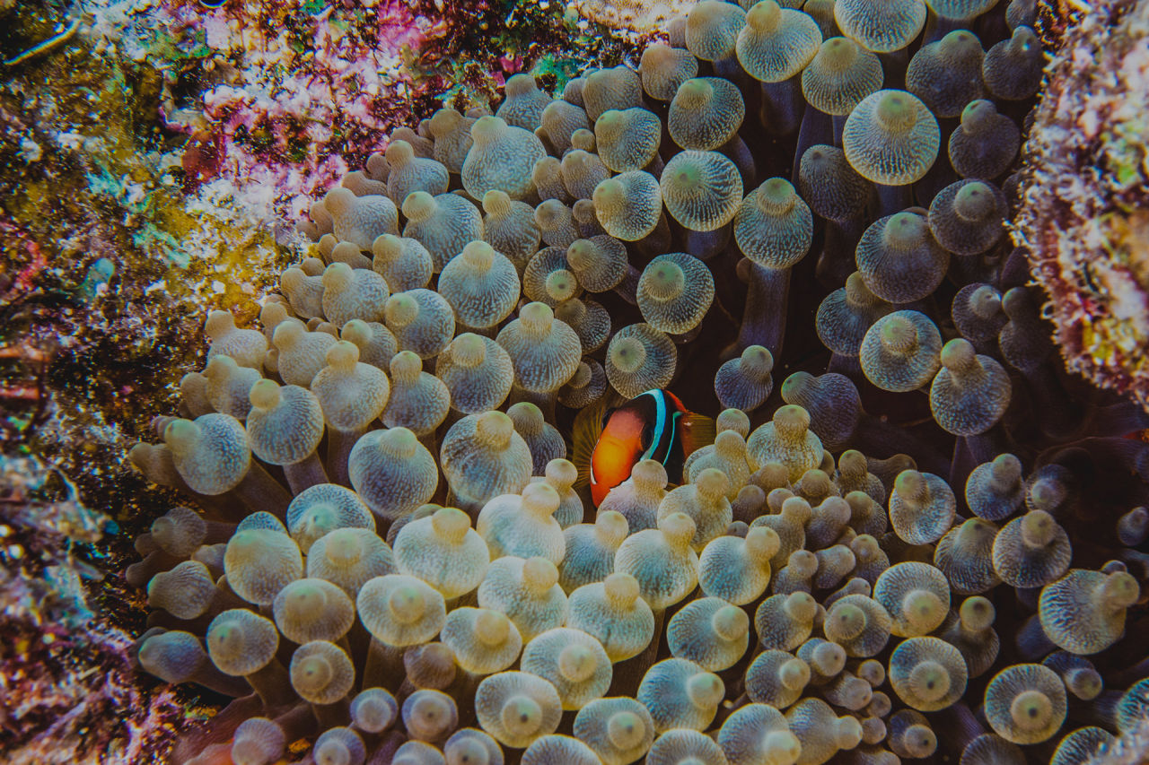 Clownfish form symbiotic relationships