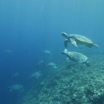 Green turtles at Raine Island