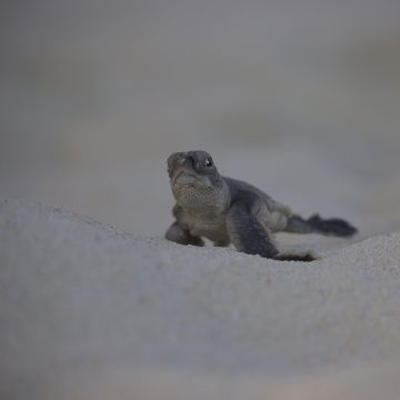 Green turtle hatchling on the Great Barrier Reef