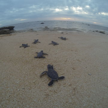 Green turtle hatchlings at Raine Island