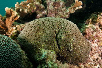 Genomics research reveals brain corals may be more resilient to bleaching
