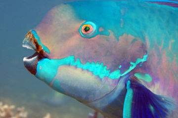 Five fascinating facts about parrotfish