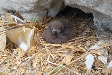 ​Endangered seabird discovery on Raine Island breaks 30 year record