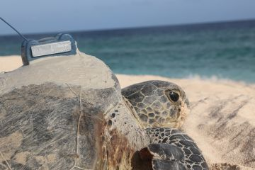 Trackers reveal the secret lives of Raine Island's turtles