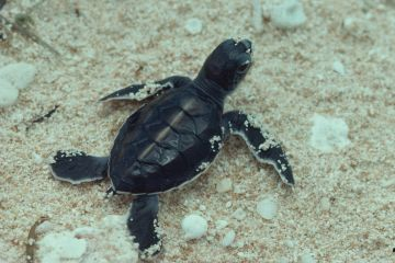 Green turtle hatchling's first trip to the sea