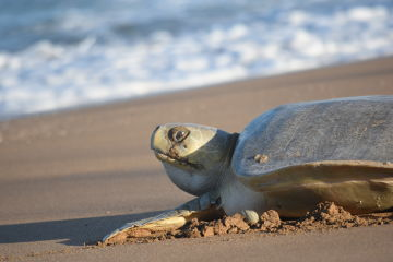 Vital turtle nesting site Avoid Island chosen as climate change refuge