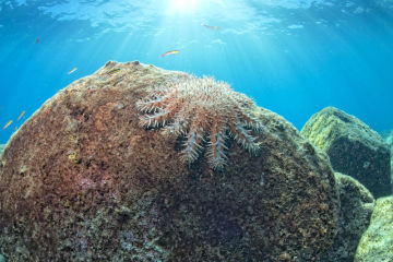 Crown of Thorns Starfish control secured