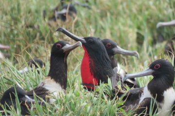 High tech eavesdropping on Raine Island seabirds