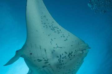 Five fascinating facts about manta rays