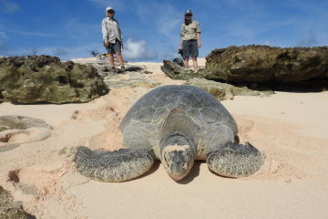 """Operation Sand Dune"" saves more Raine Island green turtles"