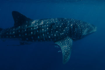 Five fascinating facts about whale sharks