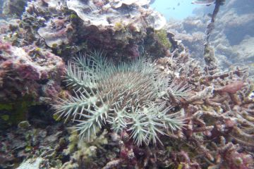 What are crown-of-thorns starfish?