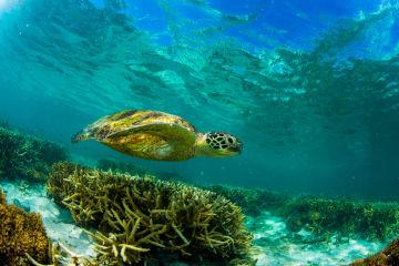 REEFCHAT: How we're saving our endangered turtles