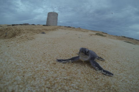 Green turtle hatchling at Raine Island