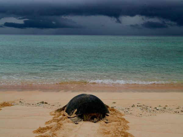 Turtle returning from nesting at Raine Island