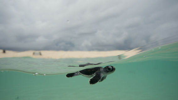Turtle hatchling at Raine Island