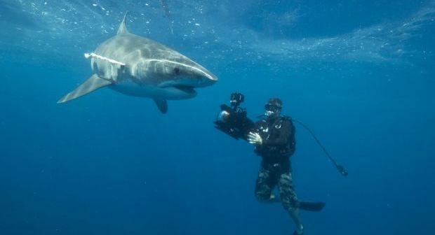 Tiger Sharks - Great Barrier Reef Foundation